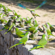 Group of feral Monk Parakeets, (Quaker Parrot, Myiopsitta monachus) feeding - Stock Photo