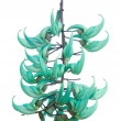 Stock Photo: Jade vine (Strongylodon macrobotrys)