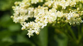 Sambucus (Elder or Elderberry) flowers — Stock Photo