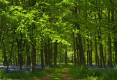Sökväg i bluebell skog — Stockfoto