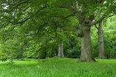 Old Beech trees — Stock Photo