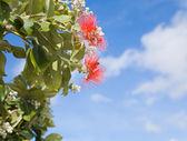 Flowering Callistemon (bottlebrush plant) — Stock Photo