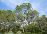 Group of The Aleppo Pines (Pinus halepensis); native to Mediterr — Photo