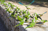 Group of feral Monk Parakeets, (Quaker Parrot, Myiopsitta monachus) feeding — Stock Photo