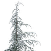 Young cedea tree in hoarfrost, isolated one white — Stock Photo