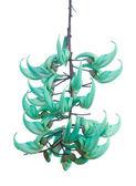 Jade vine (Strongylodon macrobotrys) — Stock Photo