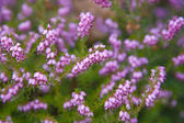 Flowering pink erica (heath) background — Stock Photo