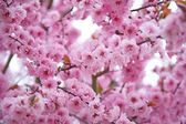 Spring background with blossoms — Stock Photo