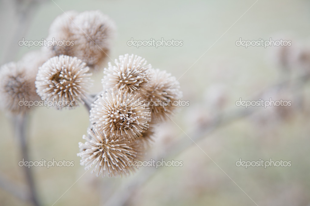 Thistle in hoarfrost — Stock Photo #4674261