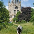 Black and white horse grazing in front of Ely cathedral — Stock Photo