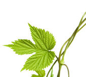 Young hops leaf, corner composition — Stock Photo