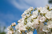Pale pink spray dog rose against blue sky — Stock Photo
