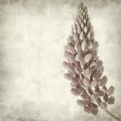 Textura antigua fondo de papel con flor rosa lupino — Foto de Stock