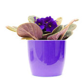 Dark purple african violet with; in lilac pot; isolated on white — Stock Photo