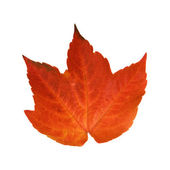 Beautiful colorful autumnal leaf of wild grape (Vitis) — Stock Photo