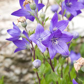 Flowers of Platycodon grandiflorus ( Chinese bellflower, Balloon flower) — Stock Photo