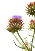 Blooming Cynara cardunculus, Cardoon Artichoke Thistle — Stock Photo