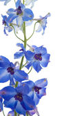 Bright blue delphinium flower; — Stockfoto