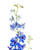 Bright blue delphinium flower; — Stock Photo