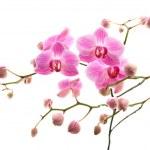 Abundant flowering of pink stripy phalaenopsis orchid isolated on white; — Stock Photo #4746486