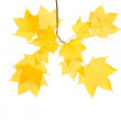 Autumnal maple branch with translucent yellow leaves and seed cluster; isol — Stock Photo #4746766
