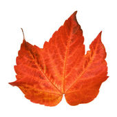 Beautiful colorful autumnal leaf of wild grape (Vitis); isolated on white b — Stock Photo