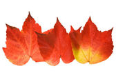 Beautiful colorful autumnal leaf of wild grape (Vitis); three pieces arrang — Stock Photo