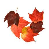 Beautiful colorful autumnal leaf of wild grape (Vitis); five pieces arrange — Stock Photo