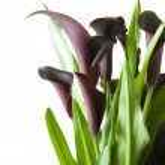 "Dark purple (""black"") calla lily plant isolated on white backgrou — Stock Photo #4750078"