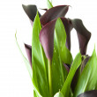 "Dark purple (""black"") calla lily plant isolated on white backgrou — Stock Photo #4750103"