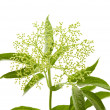 Sambucus nigra; (Black Elder; European Elder; European Elderberry; European — Stock Photo