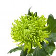 Stock Photo: Single green chrysanthemums; isolated on white