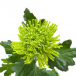 Single  green chrysanthemums; isolated on white — Foto Stock