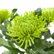 Single  green chrysanthemums; isolated on white — Stock Photo