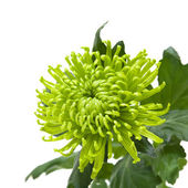 Single green chrysanthemums; isolated on white — Fotografia Stock