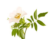Rosa canina; Dog Rose; isolated on white — Stock Photo