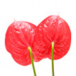Stock Photo: Red anthurium (Flamingo Flower; Boy Flower) isolated on white;