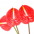 Red anthurium (Flamingo Flower; Boy Flower) isolated on white — Stock Photo