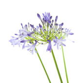 African lily; Agapanthus africanus; isolated — Stock Photo