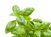 Growing young sweet basil plants isolate — Stock Photo