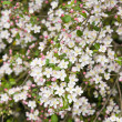 Pink spring prunus blossoms square background; - Stock Photo