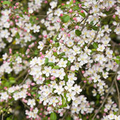 Pink spring prunus blossoms square background; — Stock Photo