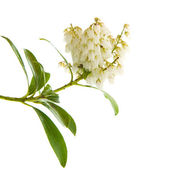 Flowering Pieris japonica (Japanese andromeda; Lily of the valle — Stock Photo