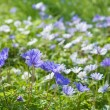Flowering Anemone Blanda carpet — Stock Photo