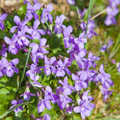 Clump of dog violet (Viola canina) — Stock Photo