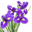 Beautiful dark purple iris flower isolated on white background; - Stock Photo