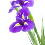 Beautiful dark purple iris flower isolated on white background — Stock Photo