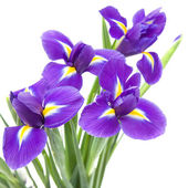 Beautiful dark purple iris flower isolated on white background; — 图库照片