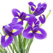 白い背景上に分離されて美しい暗い紫色のアイリスの花; — ストック写真