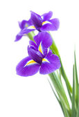 Beautiful dark purple iris flower isolated on white background — Stockfoto